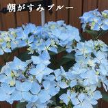 さかもと園芸のあじさい 朝がすみ 5号鉢
