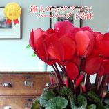 さかもと園芸のシクラメン バーバーグ 5号鉢