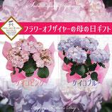 さかもと園芸のあじさい KEIKO 5号鉢