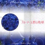 さかもと園芸のあじさい ブルーアース 5号鉢