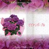 さかもと園芸のあじさい ビビアン 5号鉢
