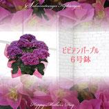 さかもと園芸のあじさい ビビアン 6号鉢