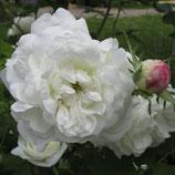Mme Plantier - Albarose