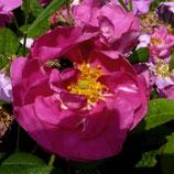 Gallica officinalis - Apothekerrose