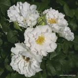 Rosa rugosa White Roadrunner