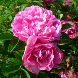Rosa rugosa Romantic Roadrunner