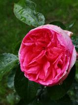 La Rose de Molinard