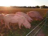 halbes Schwein unzerlegt