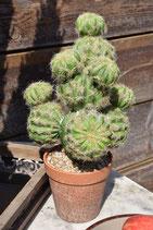 Kaktus Summer