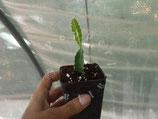 PITAYA RED / DRAGON FRUIT  'Pitaya' Hylocereus Costaricensis - PIANTA VASO  7X8