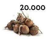 20 000 bolbos calibre 11+