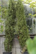 Cupressus semp. Stricta, Toscanazypressen