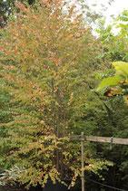 Cercidiphyllum japonicum, Lebkuchenbaum