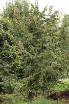 Parrotia persica, Eisenholz