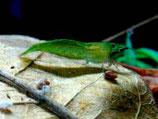 Grüne Babaulti