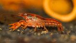 "CPO Krebse (Cambarellus patzcuarensis var. ""Orange"") Oranger Zwergflusskrebs"