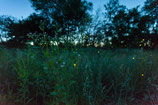 "METAL PRINTS OF ""FIREFLIES ON PLAINFIELD, VT"""