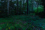 "METAL PRINTS OF ""FIREFLIES IN THE BERKSHIRES"""