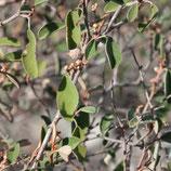 Croton cotoneaster 5ml