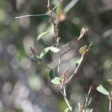 Croton geayi 10ml