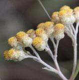 Hélichryse femelle 10ml