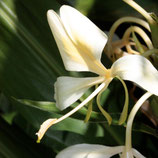 Gingembre papillon 5ml