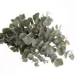 Bund Eukalyptus frisch