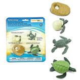 Cycle de vie de la tortue - Safari