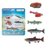 Cycle de vie des saumons - Safari