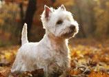 Weisser Terrier