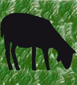 Schwarzes Schaf, grasend