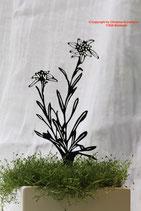 Art.Nr.: 6026ST - Pflanzenstecker Edelweiß