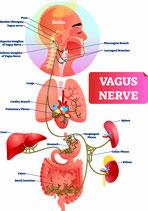 """Sitzung Die 12 Hirnnerven, der Vagusnerv und das zentrale Nervensystem"""" anregen und in Harmonie bringen"""