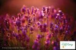 Lavendel - PDF Version