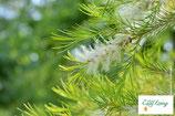 Teebaum - Melaleuca alternifolia - PDF Version