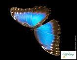 Schmetterling - PDF Version