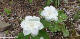 Trillium grandiflorum Snowbunting