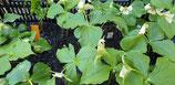 Trillium erectum weiß