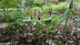 Trillium lancifolium