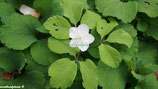 Anemone udensis Sibirien