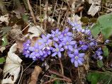 Hepatica nobilis blau, rot oder weiß