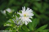 Anemone nemorosa Bracteata Pleniflora