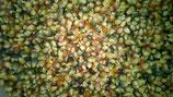 Glasperlenmais / Glass Gem Corn Körner