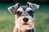 成犬トレーニング (割引対象分)