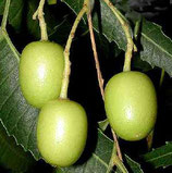 Neem Margousier (Melia azadirachta) 100ml