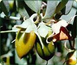 Jojoba (Simmondsia chinensis) 50 ml