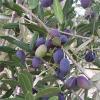 Olive (Olea europaea) 100 ml