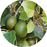 Avocat (Persea Gratissima) 100 ml