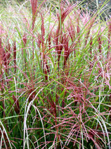 Miscanthus Red Chief