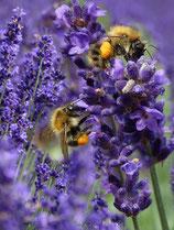 Lavendel im 2 l Topf